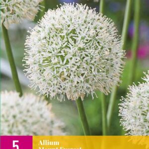 Allium 'Mount Everest' - 5 stk. blomsterløk av Prydløk