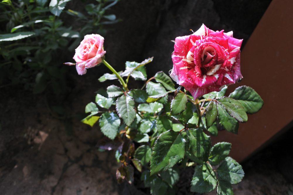 Ferdinand pichard - Historisk Rose