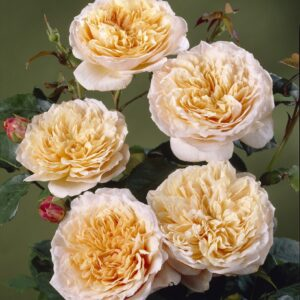 English Garden - Engelsk rose