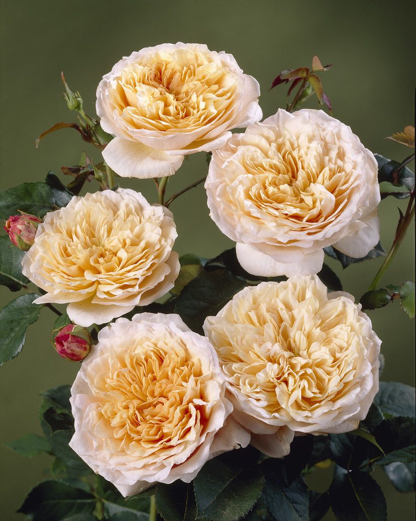 English Garden - Engelsk rose
