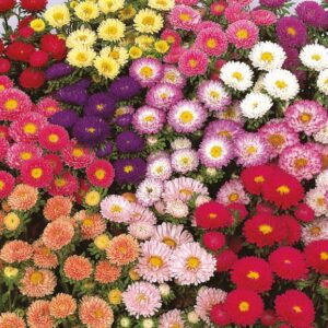 Sommer-asters - Matsumoto Miks