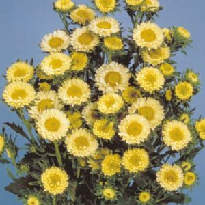 Sommer-asters - Matsumoto Yellow