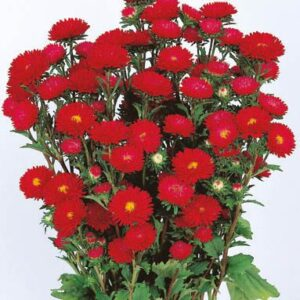 Sommer-asters - Matsumoto Scarlet