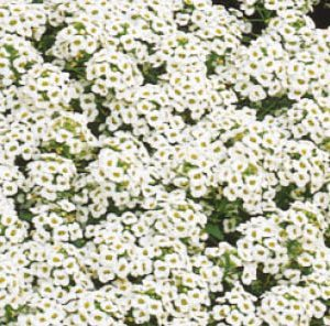 Dodre - Alyssum (Lobularia) Snow Carpet