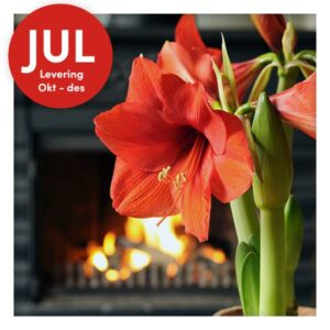 Amaryllis for innendørs dyrking