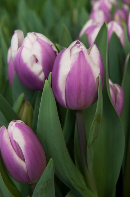Tulipaner 'Librije' - 7 stk. tulipanløk