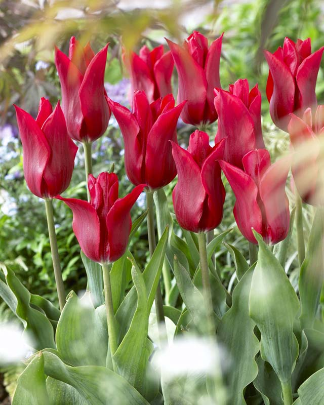 Tulipaner 'Pieter De Leur' - 7 stk. tulipanløk