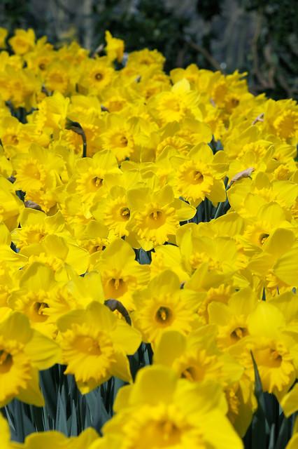 Narsisser 'Dutch Master' - 5 stk. blomsterløk av påskelilje