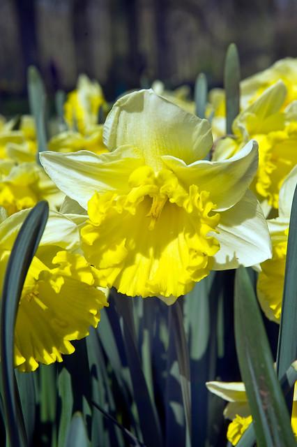 Narsisser 'Las Vegas' - 5 stk. blomsterløk av påskelilje