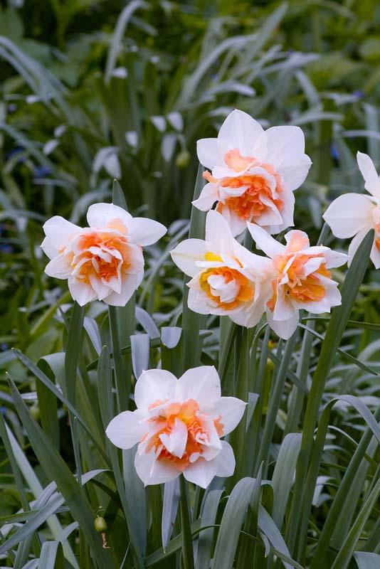 Narsisser 'Delnashaugh' - 5 stk. blomsterløk av påskelilje