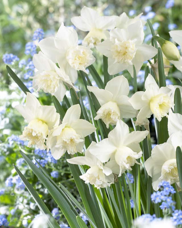 Narsisser 'White Marvel' - 5 stk. blomsterløk av påskelilje
