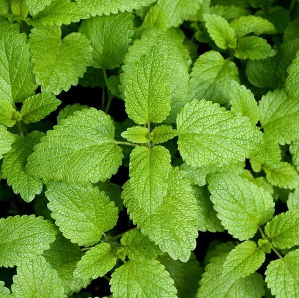 Med disse bladene kan du få te av urter.